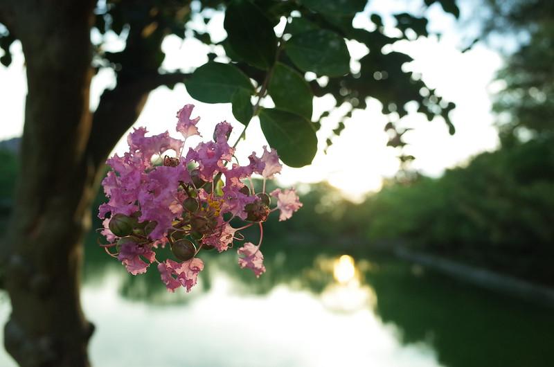 池のほとりの百日紅