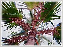 Latania loddigesii (Blue Latan Palm, Latan Palm, Blue Latania Palm) with many long inflorescences, 10 Ag 2017