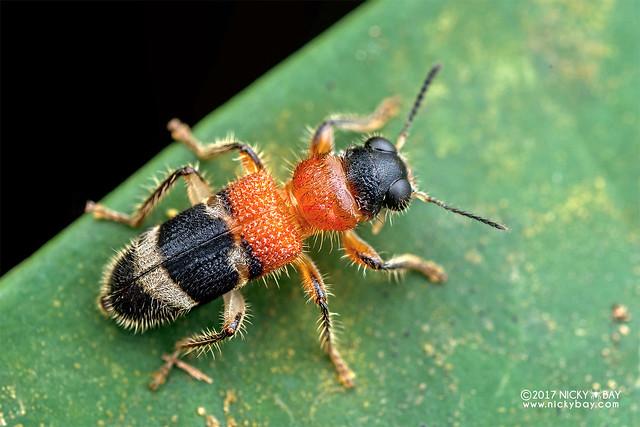 Velvet-ant-mimic checkered beetle (Tillicera sp.) - DSC_8522