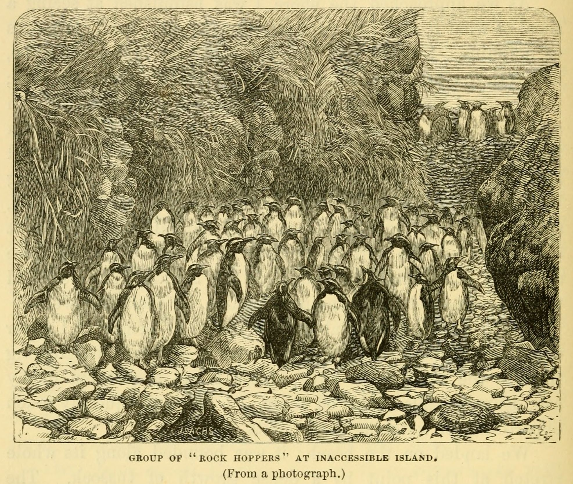 Northern rockhopper penguins on Inaccessible Island, drawn by H. N. Moseley, the naturalist aboard HMS Challenger in 1879.