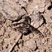 Bee Fly B306886focPr por jvpowell