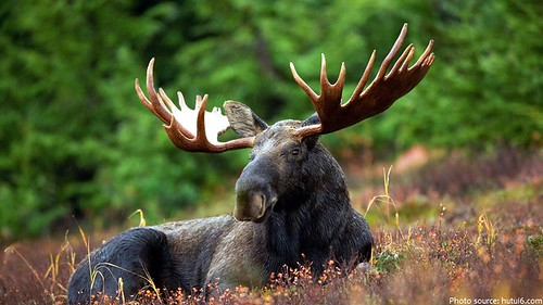 Лосі лякають рівненських лісівників