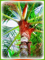 Captivating reddish-brown velvet-like fuzzy tomentum of Dypsis leptocheilos (Redneck Palm, Teddy Bear Palm, Red Fuzzy Palm), 6 Sept 2017