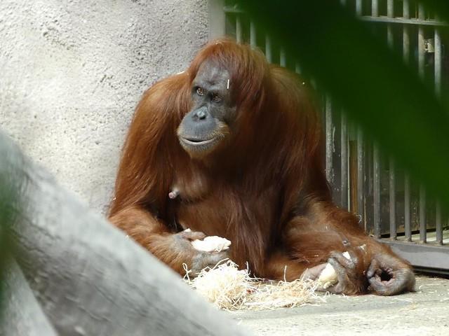 Orang-Utan, Zoo Prag