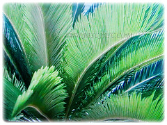 Beautiful recurved leaves of Cycas revoluta (Japanese Sago Palm, King Sago, Sago Cycad, Sago Palm), 14 Aug 2017