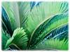 Cycas revoluta (Japanese Sago Palm, King Sago, Sago Cycad, Sago Palm)
