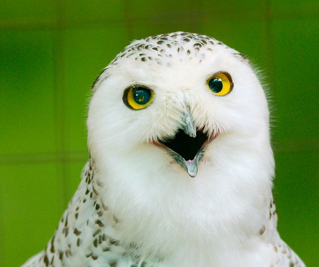 Snowy Owl_4