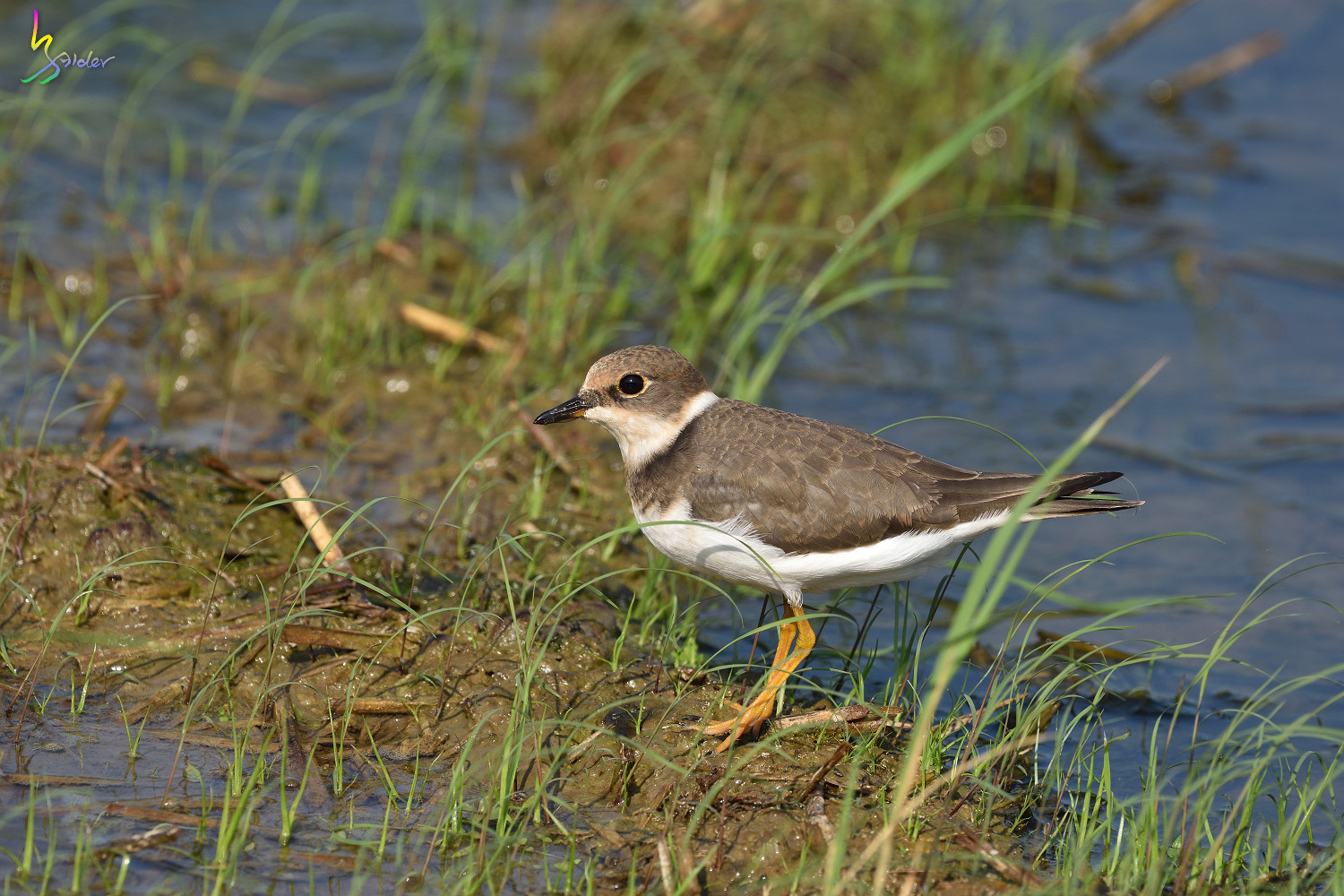 Little_Ringed_Plover_9132