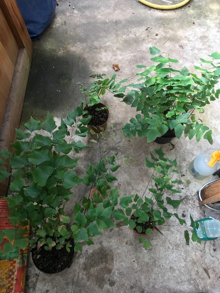Adiantum pervuianum and macrophyllum