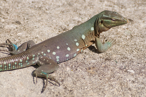 dsc0480 nature animal lizard reptile