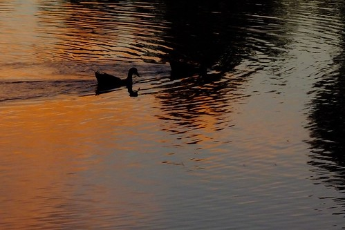 duck reflection silhouette water
