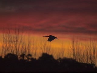 Silhouette of a white Ibis