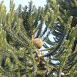 Araucaria bidwillii cone