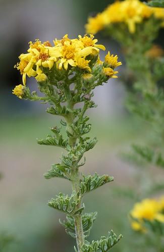 Jacobea vulgaris (= Senecio jacobaea) - séneçon jacobée 37363840322_b696094191
