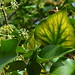 Leaf veins in ivy