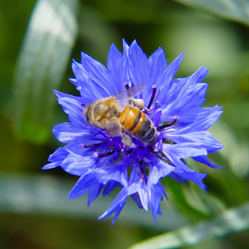Strange looking bee on cornflower