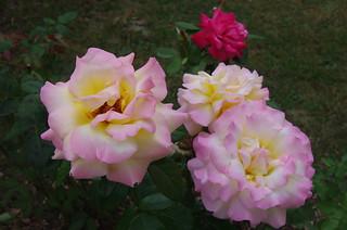 Roses de mon jardin,