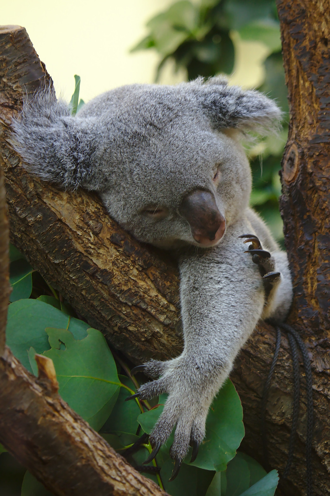 Koala sleeping at Tiergarten Schönbrunn
