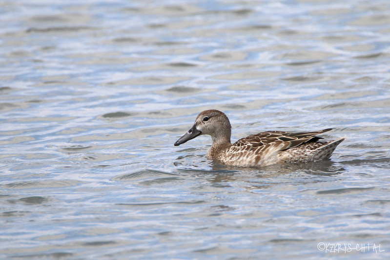 IMG_6207BlueWingedTeal