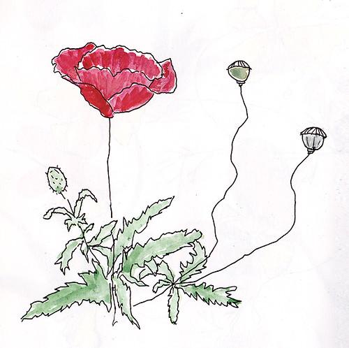 poppy plant sketch