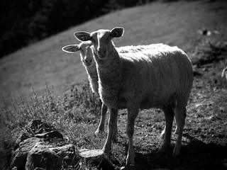 Shepherd beauties II