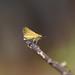 Hylephila phyleus by Gabriel Büll