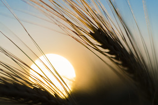 Barley in the Sunset | by Theo Crazzolara