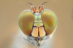 Longlegged Flies - Dolichopodidae