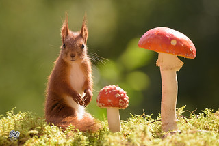 red squirrel is standing with  mushrooms
