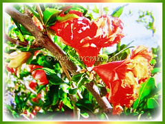 Mesmerizing orange-red flowers of Punica granatum (Pomegranate, Buah Delima in Malay), 24 Aug 2017