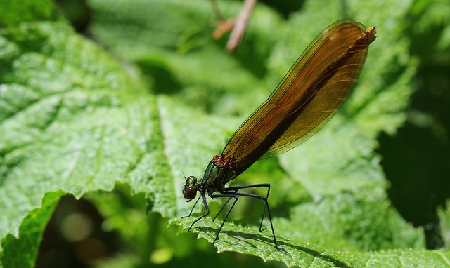 Beautiful Demoiselle Fem -Calopteryx, Canon EOS 60D, Canon EF 100mm f/2.8L Macro IS USM