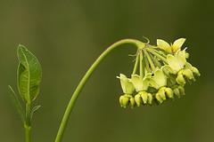 Mead's milkweed
