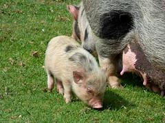 Cerza Zoo - piglet (3)