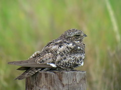 Common Nighthawk, Anahuac NWR, TX, 8/1/2017