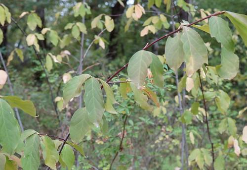 Euonymus latifolius - fusain à larges feuilles 36715529944_fb1ce69366