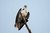 Osprey (Pandion haliaetus) by Sergey Pisarevskiy