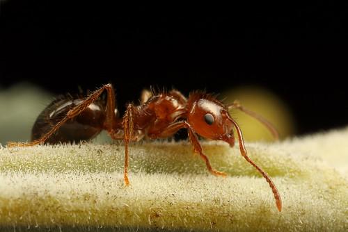 Epaulet ant - Notoncus hickmani