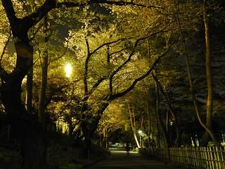 千葉公園 野球場の夜桜02