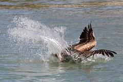 Pelican splashdown Clearwater Beach FL