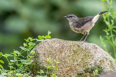 Myiothlypis fulvicauda / Reinita Guardaribera / Buff-rumped Warbler