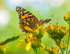 Painted Lady and St. John's Wort