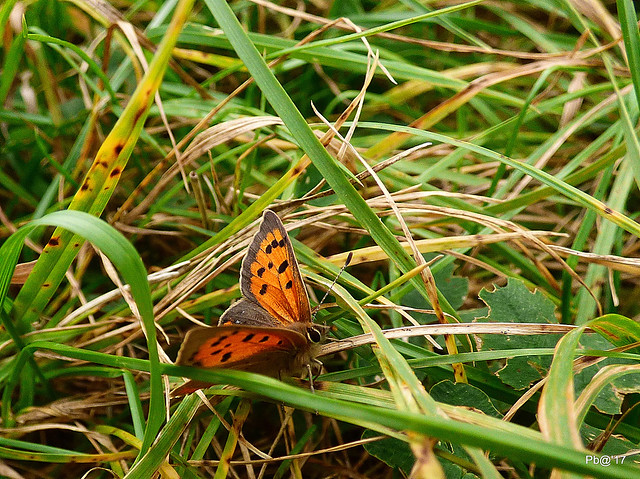 Small Copper Lycaena phlaeas (ly-SEE-nuh FLEE-uss)