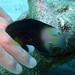 Small photo of Bicolored Damsel Fish