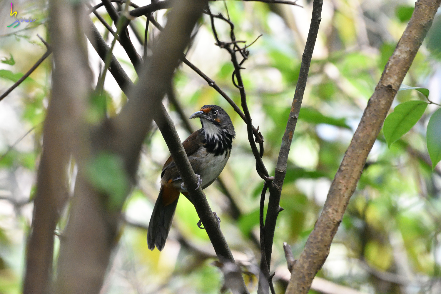 Rusty-cheeked_Scimitar_Babbler_1477