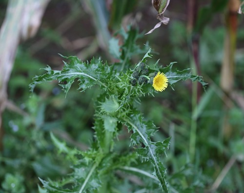 Prickly Sow-Thistle near Lindfield