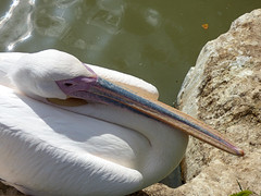Cerza Zoo - pelican (3)
