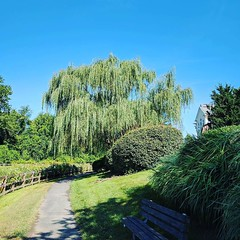 Annual photo of the weeping willow