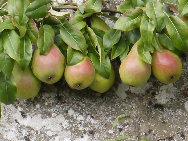 Pears at Blickling Hall, Panasonic DMC-GF3, LUMIX G VARIO 14-42mm F3.5-5.6