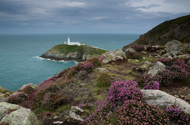South Stack Heather