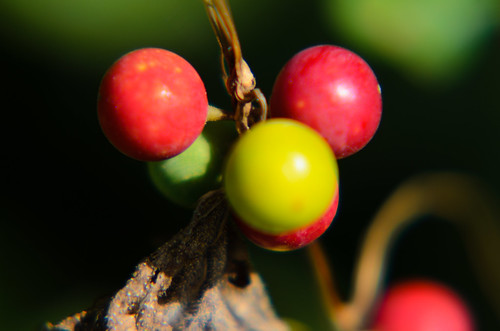 Green, red: bryony berries ripening